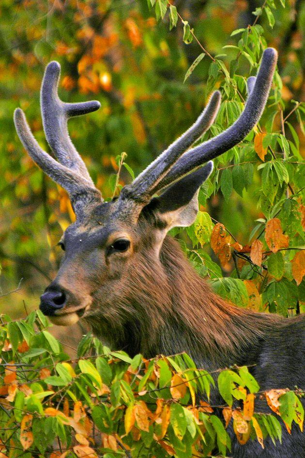 El venado es una de la especies que más sufre la caza deportiva y comercial. Foto: Alfredo Miguel Romero