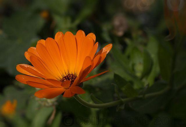 Plantas Medicinales V: CALENDULA OFFICINALIS