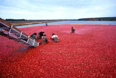 Cranberrys, por: Keith Weller