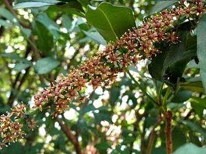 Foto 2. Plantación de caña de azúcar en el litoral del nordeste de Brasil. (B. Paladini 2009).
