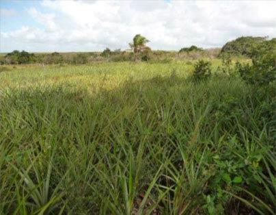 Foto 3. Cultivo de abacaxí (piña) que protege densamente el suelo. (Fotografía: Bilal Paladini, 2009).