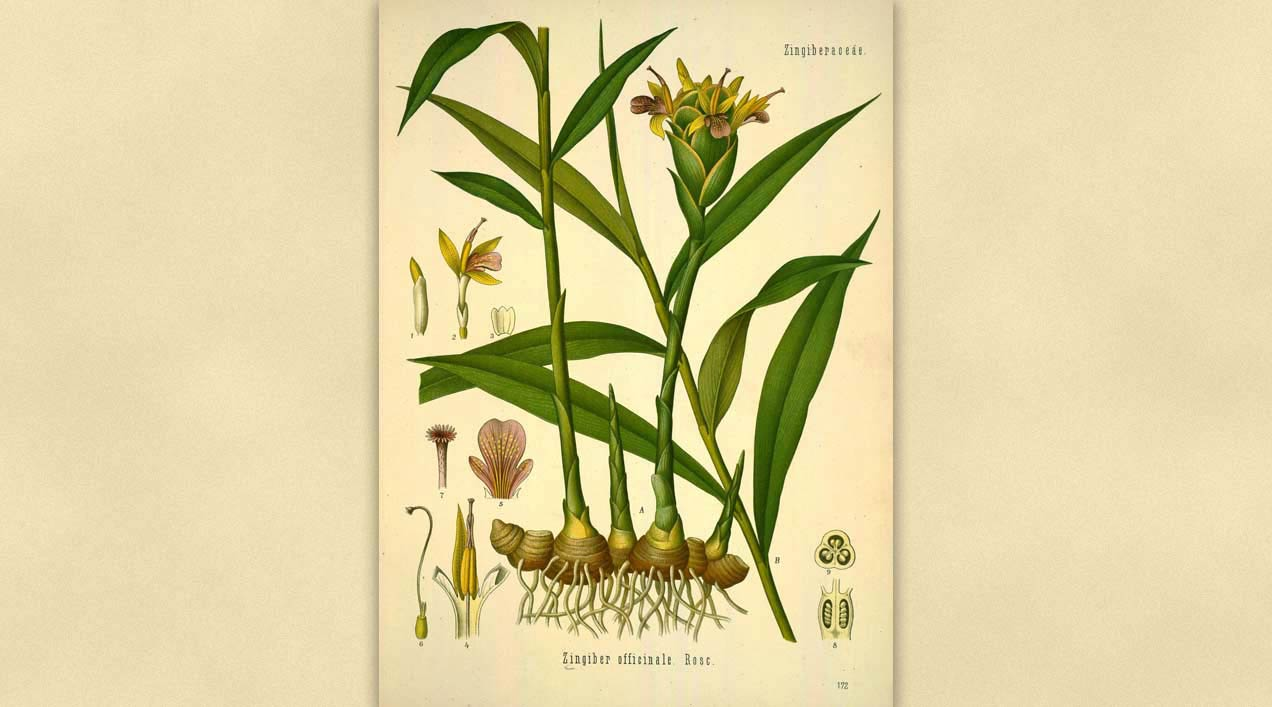 Ficha Botánica II: Zingiber Officinale