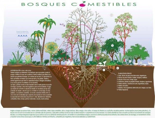 Diferentes ciclos naturales (CO2, nitrógeno, fósforo...) y funciones que se dan en un bosque comestible.