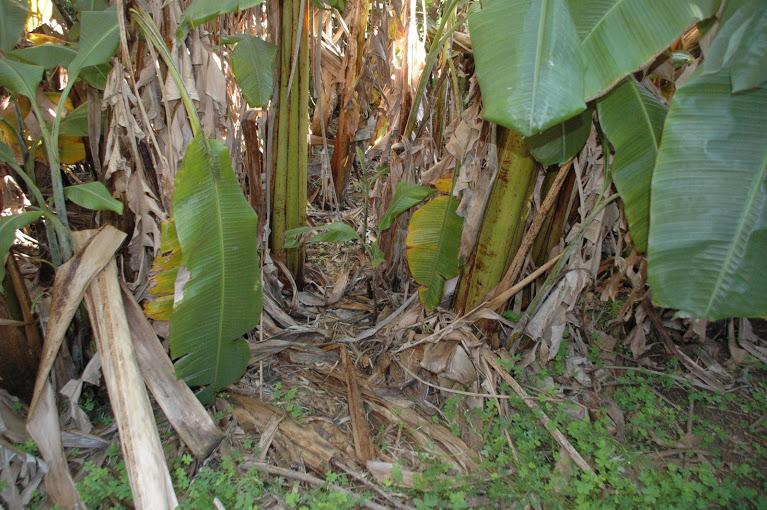 Plataneras en el bosque de alimentos de Juan Antón Foto: José Luis Moreno