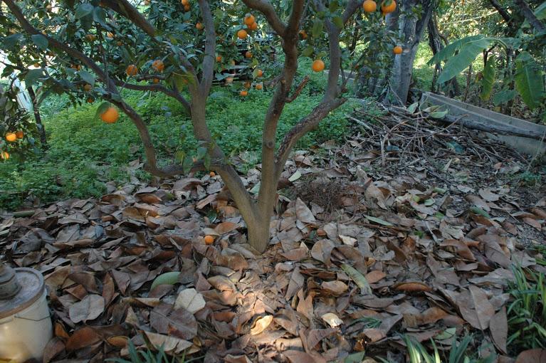 Naranjos cultivados sin agroquímos. en el suelo, el mulch formado por ramas y hojas secas
