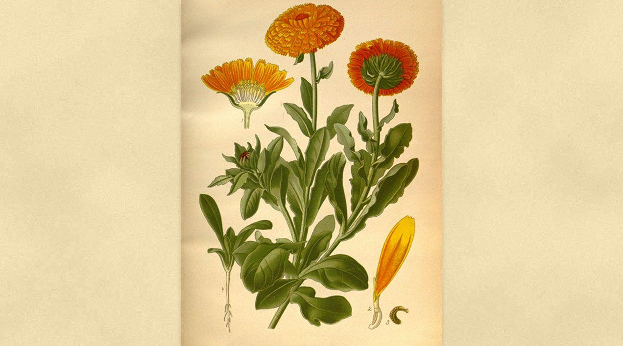 Ficha Botánica V: Caléndula, botón de oro o maravilla