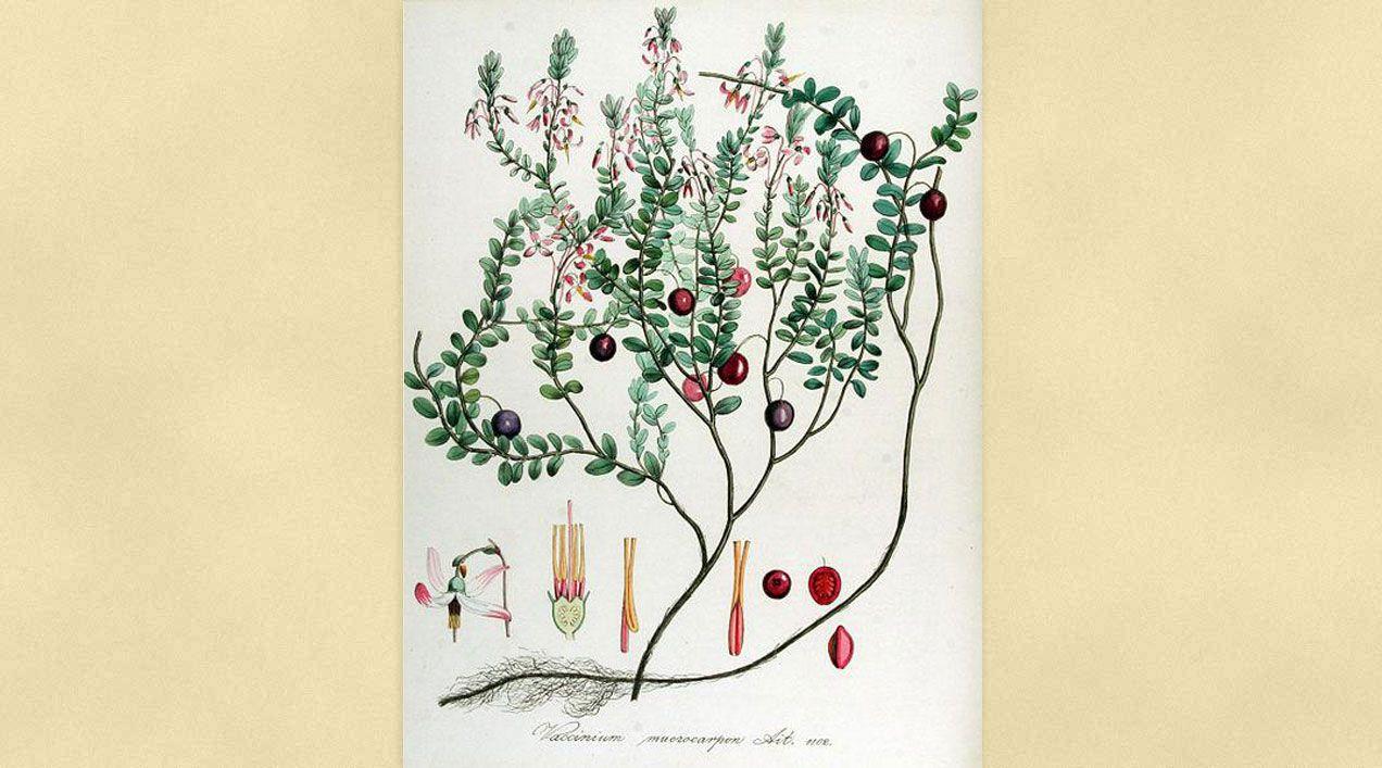 Ficha Botánica IV: Arándano Agrio,  Arándano Rojo Americano o Cranberry