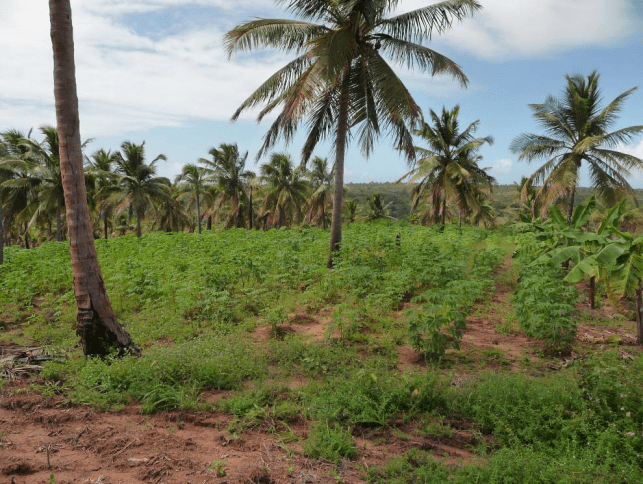 Foto 4. Cultivo de mandioca que deja el suelo muy desprotegido ante fenómenos erosivos. (Foto: Bilal Paladini, 2009).