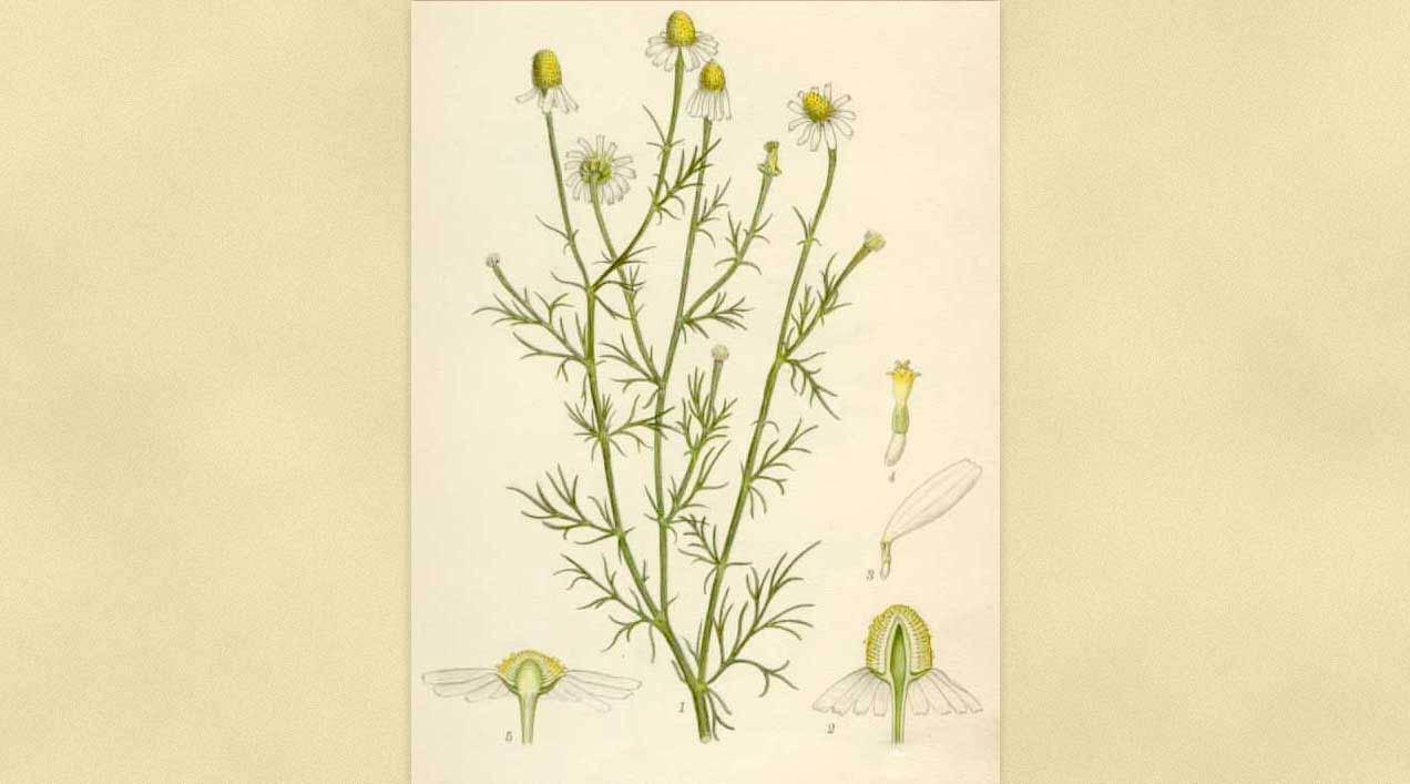 Ficha Botánica III: Manzanilla dulce o Camomila