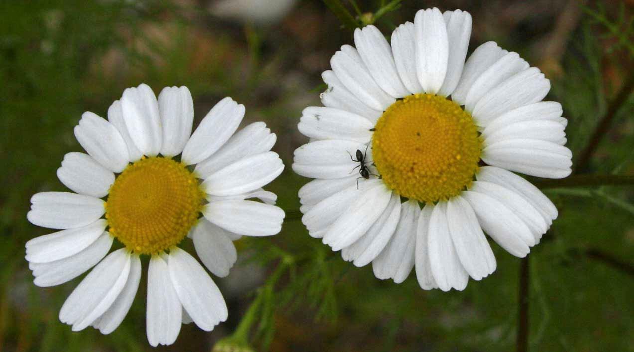 Plantas Medicinales III: Manzanilla dulce o Camomila