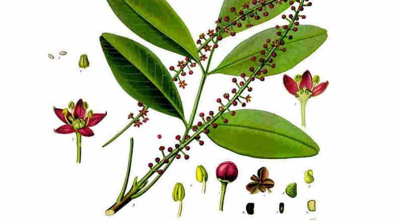 Plantas Medicinales I. Pilocarpus Jaborandi