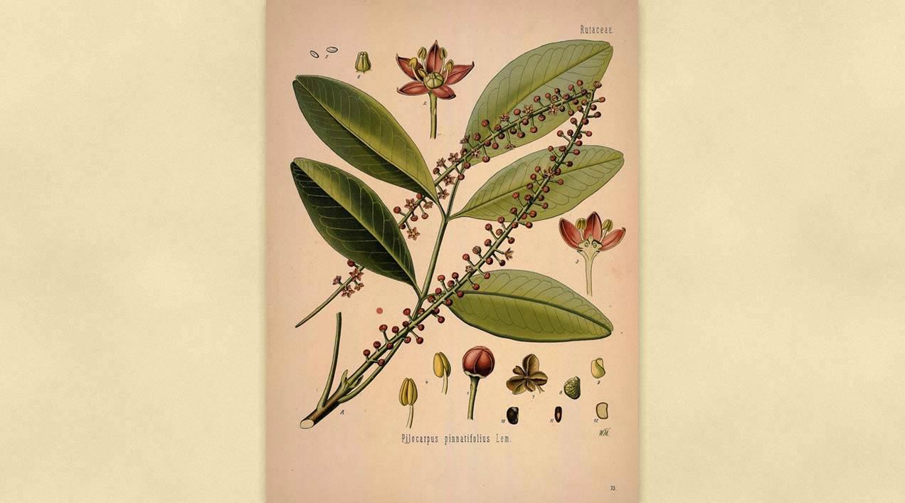 Ficha Botánica I: Pilocarpus Jaborandi